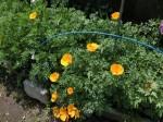 H280417農園茎レタス収穫 (19)