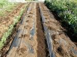 H280417農園茎レタス収穫 (6)
