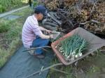 H280506いやし収穫体験スナップエンドウ (69)
