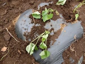H290510サツマイモの苗の植え替え (5)