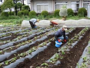 H290510サツマイモの苗の植え替え (3)