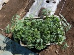 H280505夏野菜植え付け (6)