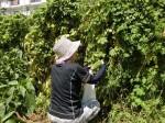 H280819いやし収穫体験 (16)