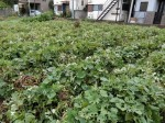 H281031癒しの郷野島農園育成管理 (7)