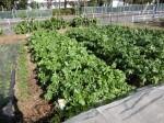 H281107農園育成管理 (7)