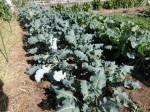 H281107農園育成管理 (5)