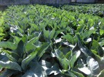 H281112農園育成管理 (19)
