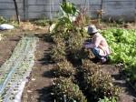 H281112農園育成管理 (1)