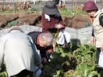 H281217いやし収穫体験サツマイモ掘り (28)