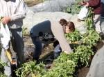 H281217いやし収穫体験サツマイモ掘り (29)