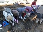 H281217いやし収穫体験サツマイモ掘り (39)