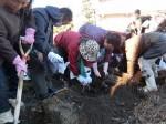H281217いやし収穫体験サツマイモ掘り (41)