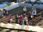 H281217いやし収穫体験サツマイモ掘り (2)