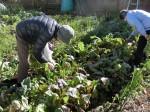 H281217いやし収穫体験サツマイモ掘り (26)