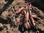 H281217いやし収穫体験サツマイモ掘り (49)