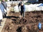 H281217いやし収穫体験サツマイモ掘り (54)