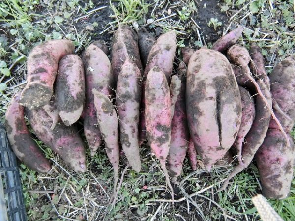 H281217親子農業体験サツマイモ掘り・いやし収穫体験 (125)