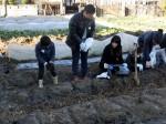 H281217親子農業体験サツマイモ掘り・いやし収穫体験 (15)