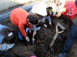 H281217親子農業体験サツマイモ掘り・いやし収穫体験 (23)
