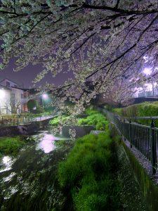 落合川の夜桜
