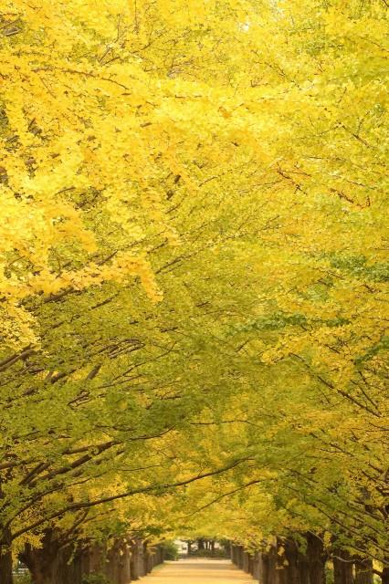イチョウ並木1