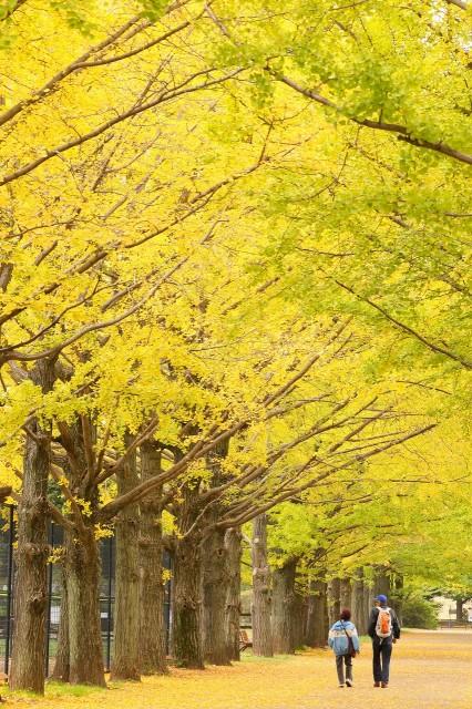 イチョウ並木2
